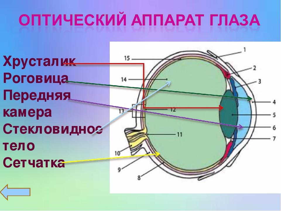 Хрусталик Роговица Передняя камера Стекловидное тело Сетчатка