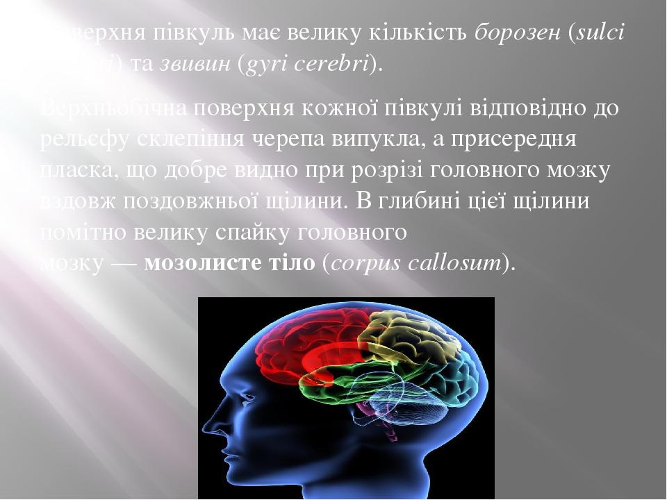 Поверхня півкуль має велику кількістьборозен(sulci cerebri) тазвивин(gуri cerebri). Верхньобічна поверхня кожної півкулі відповідно до рельєфу ...