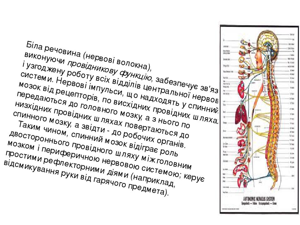 Біла речовина (нервові волокна), виконуючипровідникову функцію, забезпечує зв'язок і узгоджену роботу всіх відділів центральної нервової системи. ...