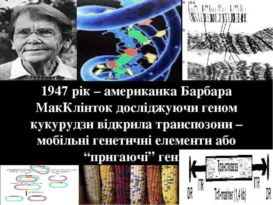 """1947 рік – американка Барбара МакКлінток досліджуючи геном кукурудзи відкрила транспозони – мобільні генетичні елементи або """"пригаючі"""" гени."""