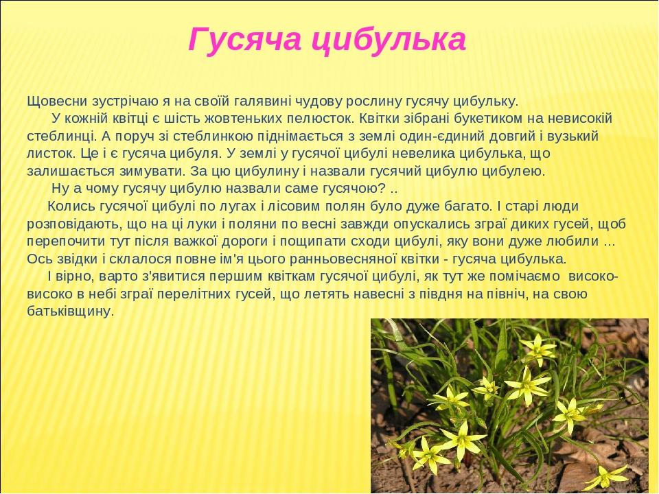 Щовесни зустрічаю я на своїй галявині чудову рослину гусячу цибульку. У кожній квітці є шість жовтеньких пелюсток. Квітки зібрані букетиком на неви...