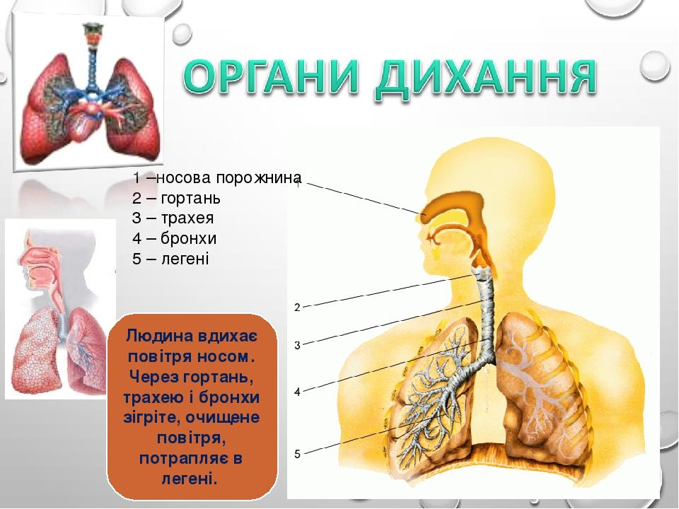 1 –носова порожнина 2 – гортань 3 – трахея 4 – бронхи 5 – легені Людина вдихає повітря носом. Через гортань, трахею і бронхи зігріте, очищене повіт...