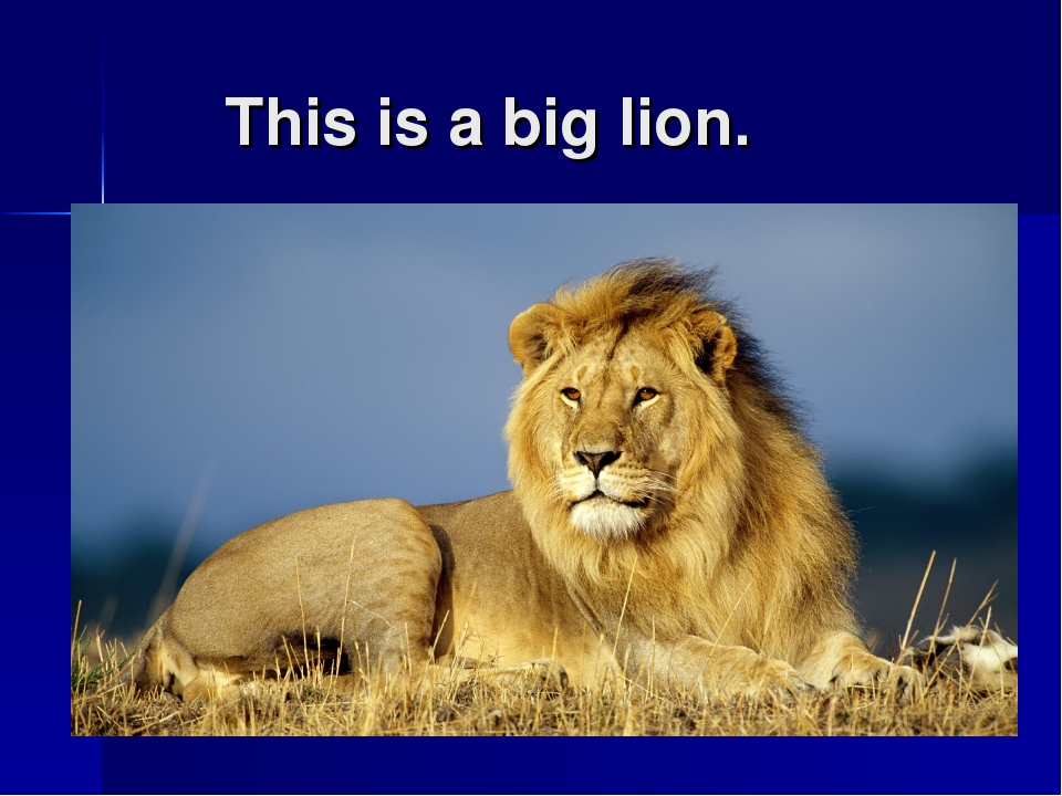 This is a big lion.