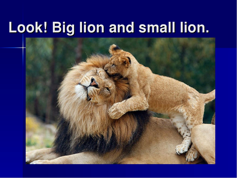 Look! Big lion and small lion.