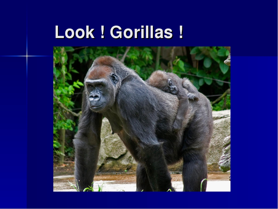 Look ! Gorillas !