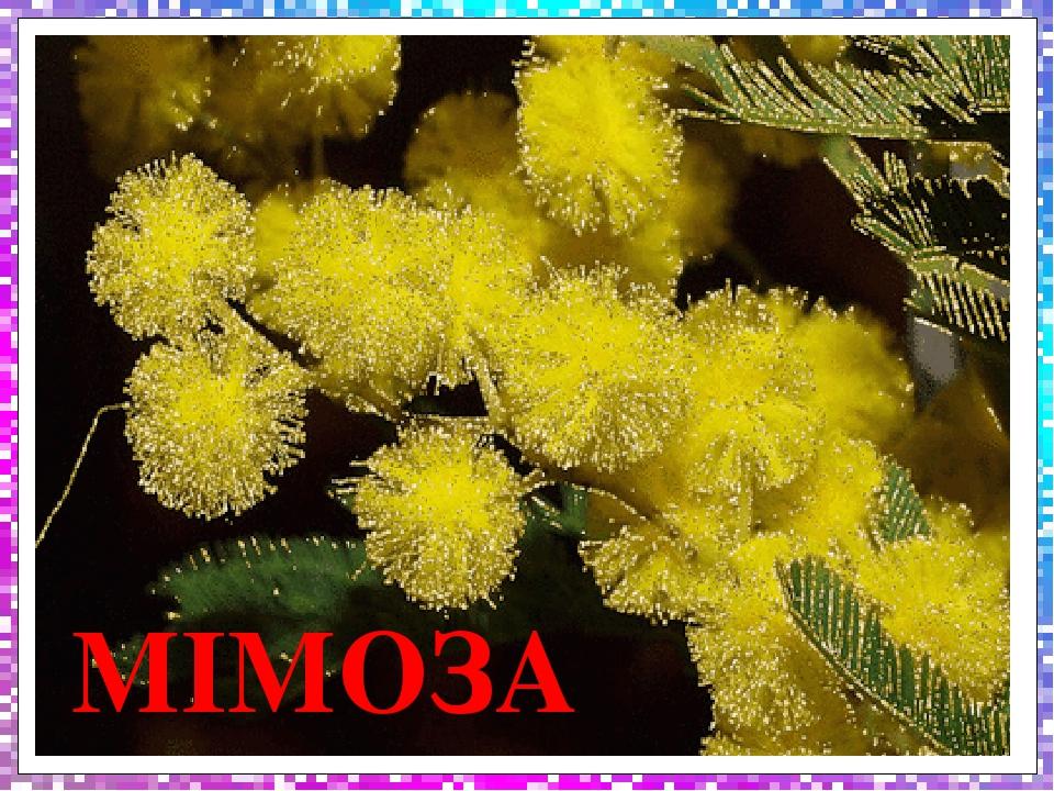 МІМОЗА