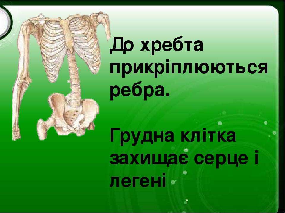 До хребта прикріплюються ребра. Грудна клітка захищає серце і легені