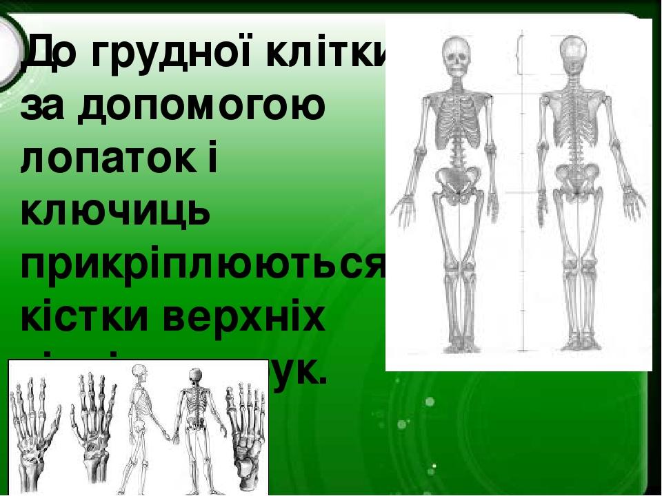 До грудної клітки за допомогою лопаток і ключиць прикріплюються кістки верхніх кінцівок – рук.
