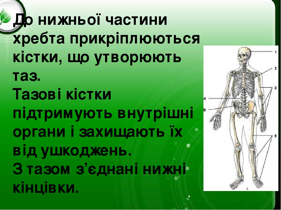 До нижньої частини хребта прикріплюються кістки, що утворюють таз. Тазові кістки підтримують внутрішні органи і захищають їх від ушкоджень. З тазом...