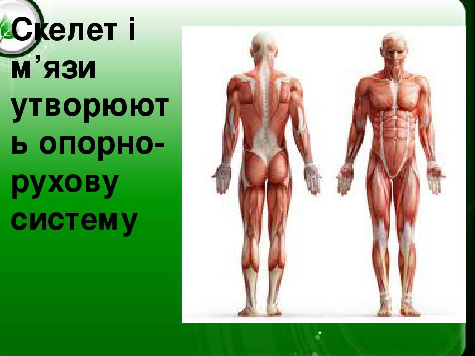 Скелет і м'язи утворюють опорно-рухову систему