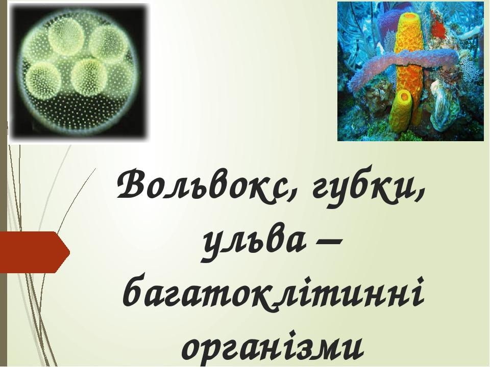 Вольвокс, губки, ульва – багатоклітинні організми