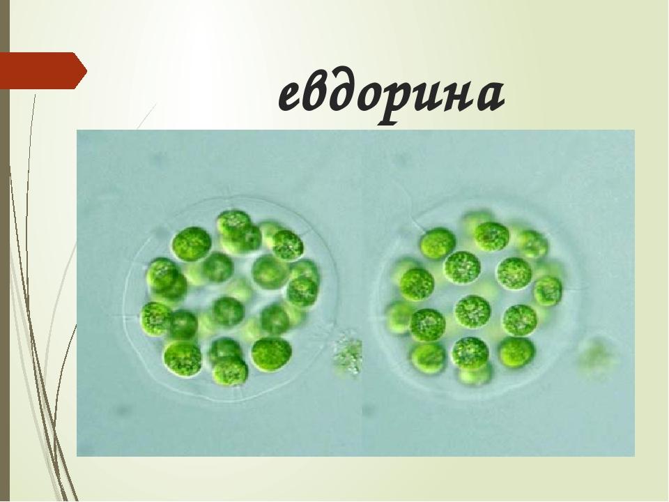 евдорина