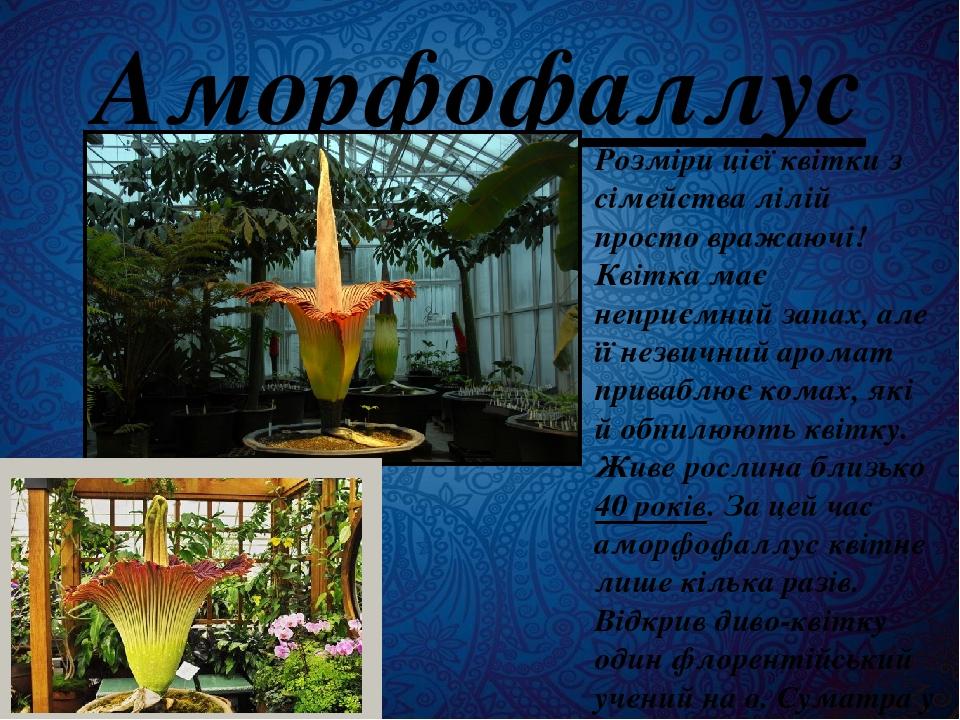 Аморфофаллус Розміри цієї квітки з сімейства лілій просто вражаючі! Квітка має неприємний запах, але її незвичний аромат приваблює комах, які й обп...