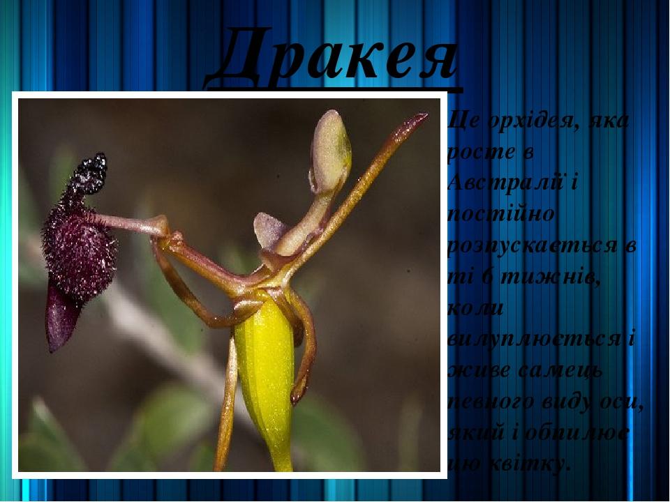 Дракея Це орхідея, яка росте в Австралії і постійно розпускається в ті 6 тижнів, коли вилуплюється і живе самець певного виду оси, який і обпилює ц...