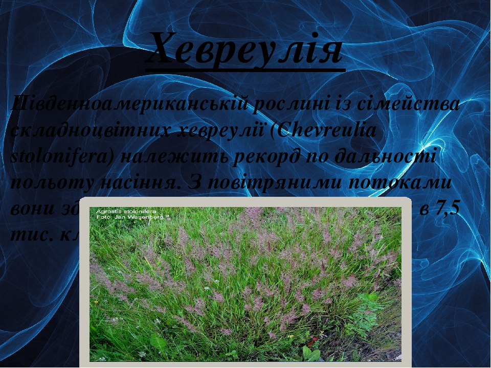 Хевреулія Південноамериканській рослині із сімейства складноцвітних хевреулії (Chevreulіa stolonіfera) належить рекорд по дальності польоту насіння...
