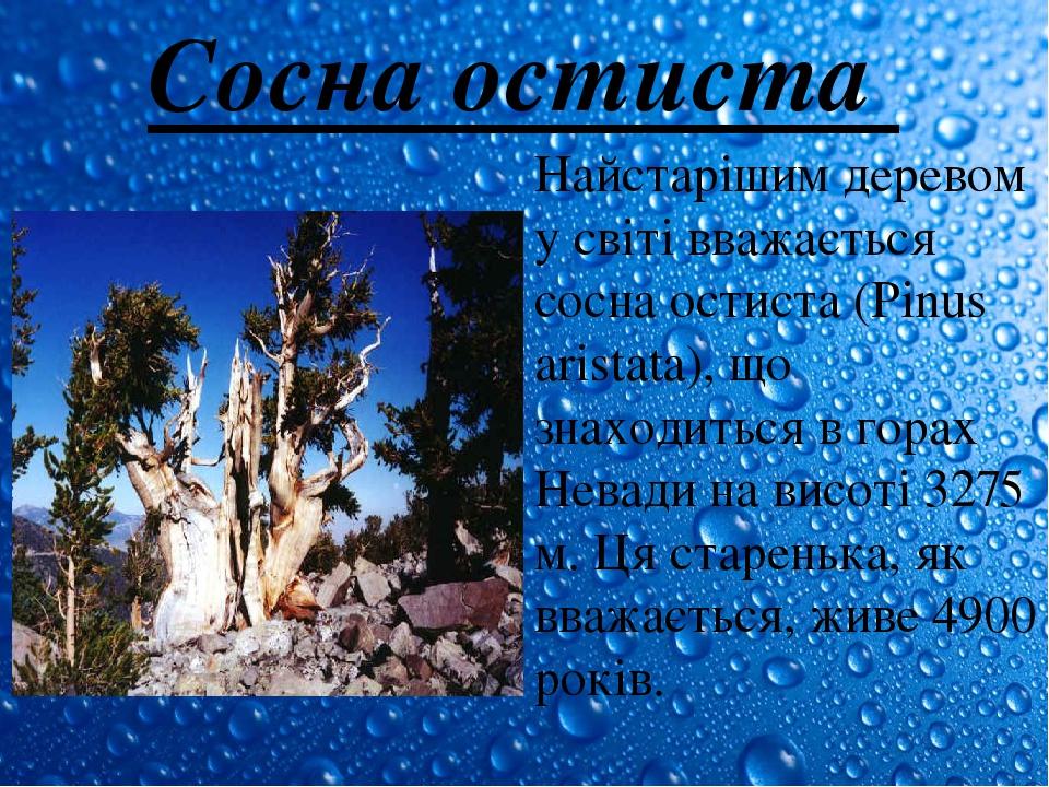 Сосна остиста Найстарішим деревом у світі вважається сосна остиста (Pinus aristata), що знаходиться в горах Невади на висоті 3275 м. Ця старенька, ...