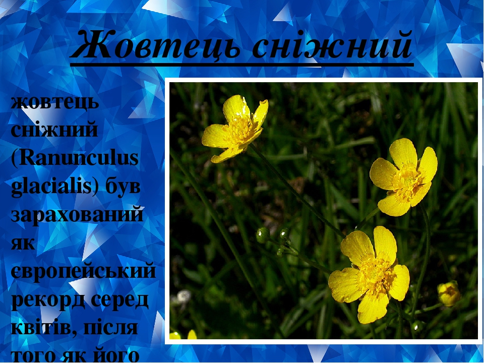 Жовтець сніжний жовтець сніжний (Ranunculus glacialis) був зарахований як європейський рекорд серед квітів, після того як його сімейство було виявл...