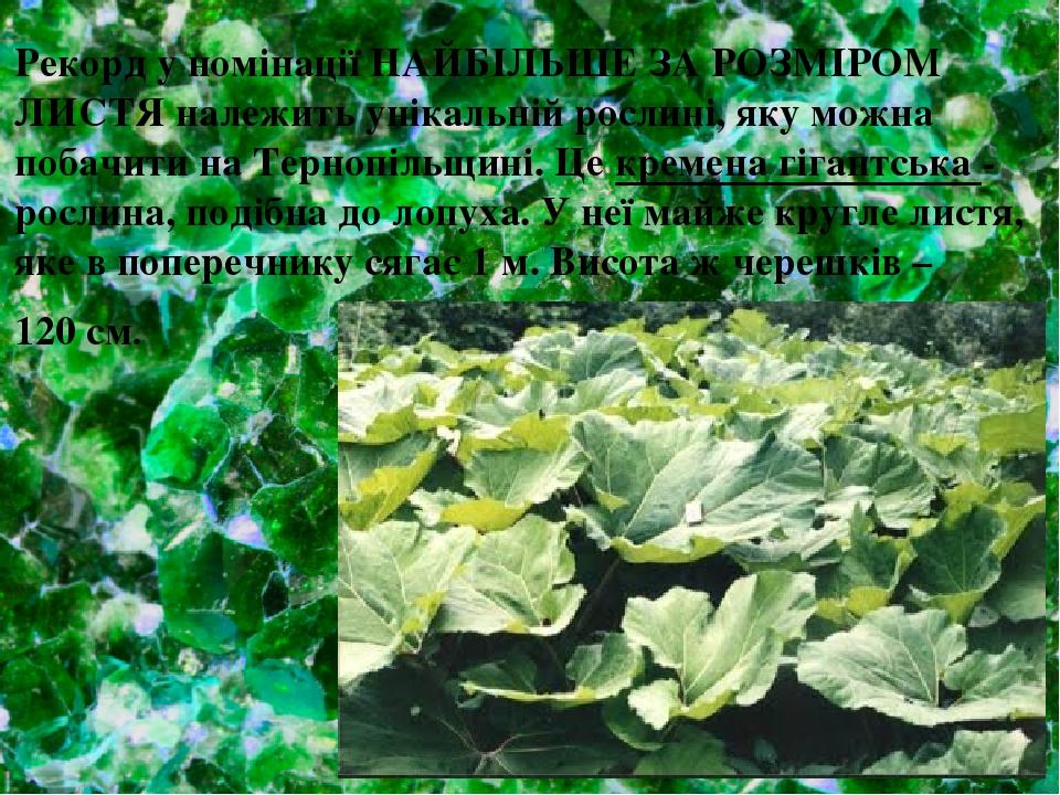 Рекорд у номінації НАЙБІЛЬШЕ ЗА РОЗМІРОМ ЛИСТЯ належить унікальній рослині, яку можна побачити на Тернопільщині. Це кремена гігантська - рослина, п...