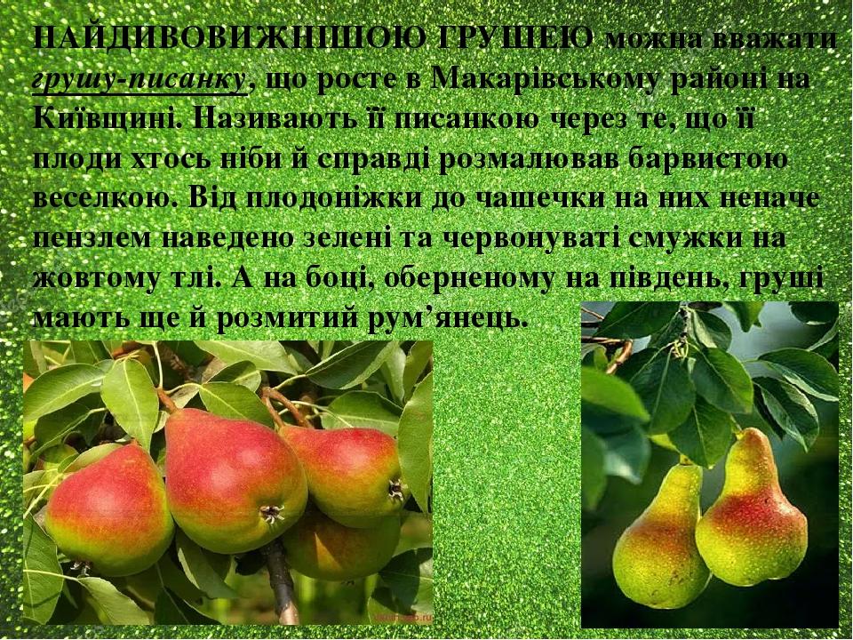 НАЙДИВОВИЖНІШОЮ ГРУШЕЮ можна вважати грушу-писанку, що росте в Макарівському районі на Київщині. Називають її писанкою через те, що її плоди хтось ...