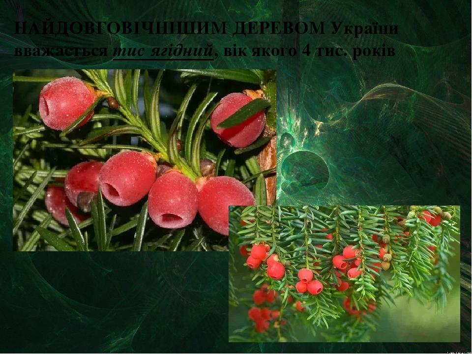 НАЙДОВГОВІЧНІШИМ ДЕРЕВОМ України вважається тис ягідний, вік якого 4 тис. років