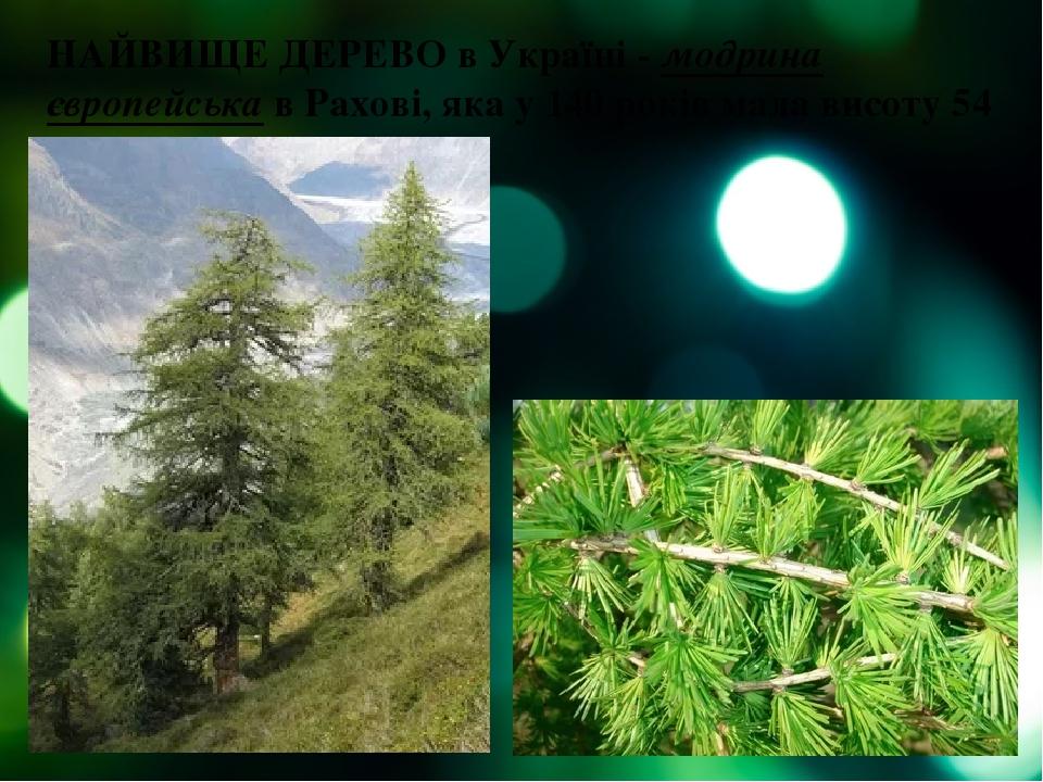 НАЙВИЩЕ ДЕРЕВО в Україні - модрина європейська в Рахові, яка у 140 років мала висоту 54 м.