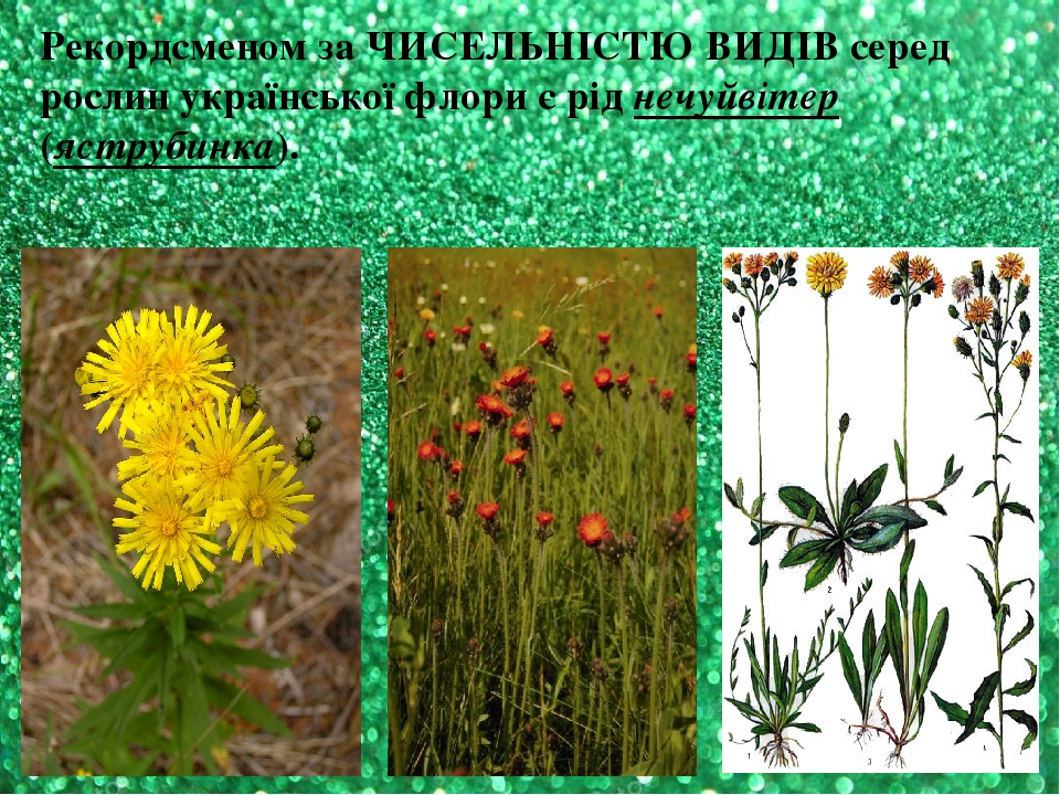 Рекордсменом за ЧИСЕЛЬНІСТЮ ВИДІВ серед рослин української флори є рід нечуйвітер (яструбинка).
