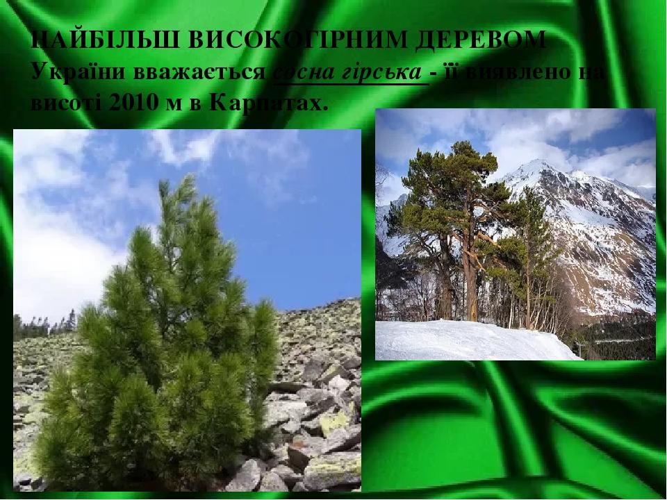 НАЙБІЛЬШ ВИСОКОГІРНИМ ДЕРЕВОМ України вважається сосна гірська - її виявлено на висоті 2010 м в Карпатах.