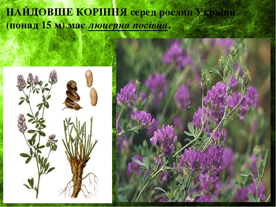 НАЙДОВШЕ КОРІННЯ серед рослин України (понад 15 м) має люцерна посівна.