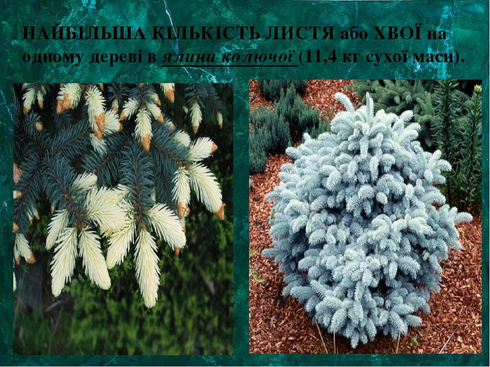 НАЙБІЛЬША КІЛЬКІСТЬ ЛИСТЯ або ХВОЇ на одному дереві в ялини колючої (11,4 кг сухої маси).