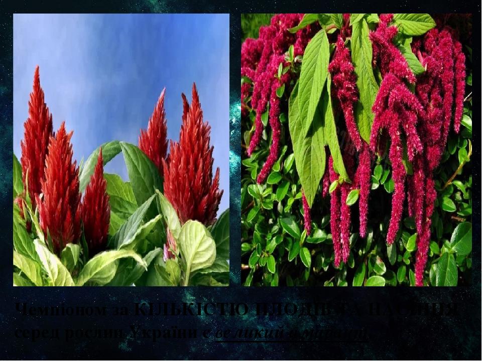 Чемпіоном за КІЛЬКІСТЮ ПЛОДІВ ТА НАСІННЯ серед рослин України є великий амарант.