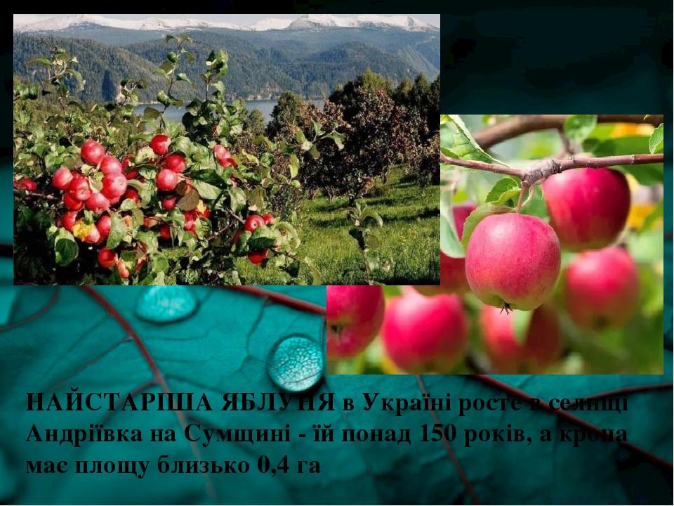 НАЙСТАРІША ЯБЛУНЯ в Україні росте в селищі Андріївка на Сумщині - їй понад 150 років, а крона має площу близько 0,4 га