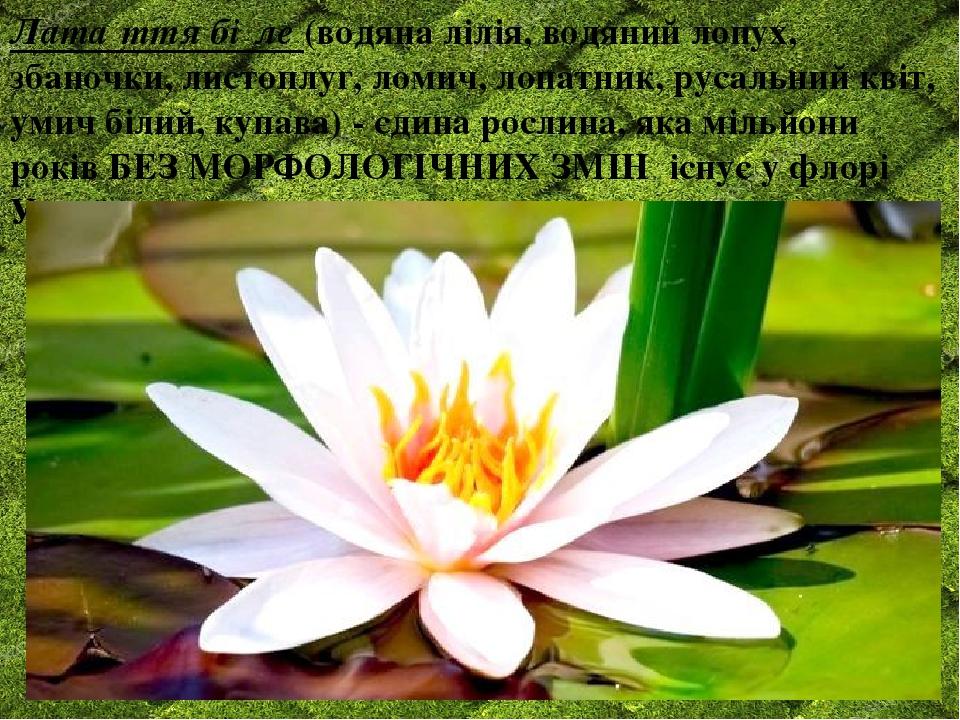 Лата́ття бі́ле (водяна лілія, водяний лопух, збаночки, листоплуг, ломич, лопатник, русальний квіт, умич білий, купава) - єдина рослина, яка мільйон...
