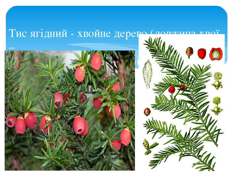 Тис ягідний - хвойне дерево (довжина хвої – 2-3 см). Усі частини рослини, крім оболонки на-сіння, є отруйними.