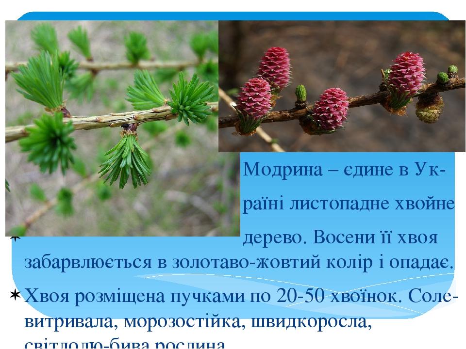 Модрина – єдине в Ук- раїні листопадне хвойне дерево. Восени її хвоя забарвлюється в золотаво-жовтий колір і опадає. Хвоя розміщена пучками по 20-5...