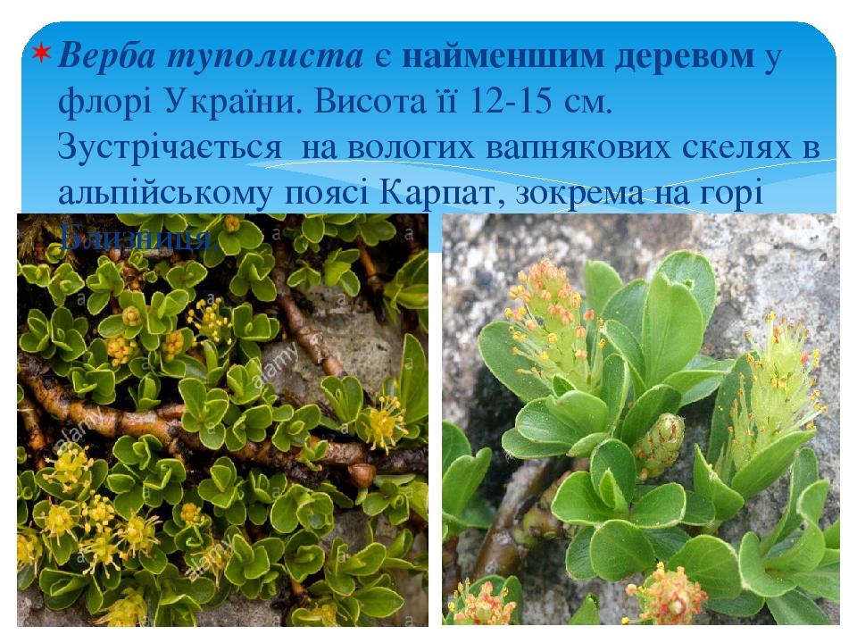 Верба туполиста є найменшим деревом у флорі України. Висота її 12-15 см. Зустрічається на вологих вапнякових скелях в альпійському поясі Карпат, зо...