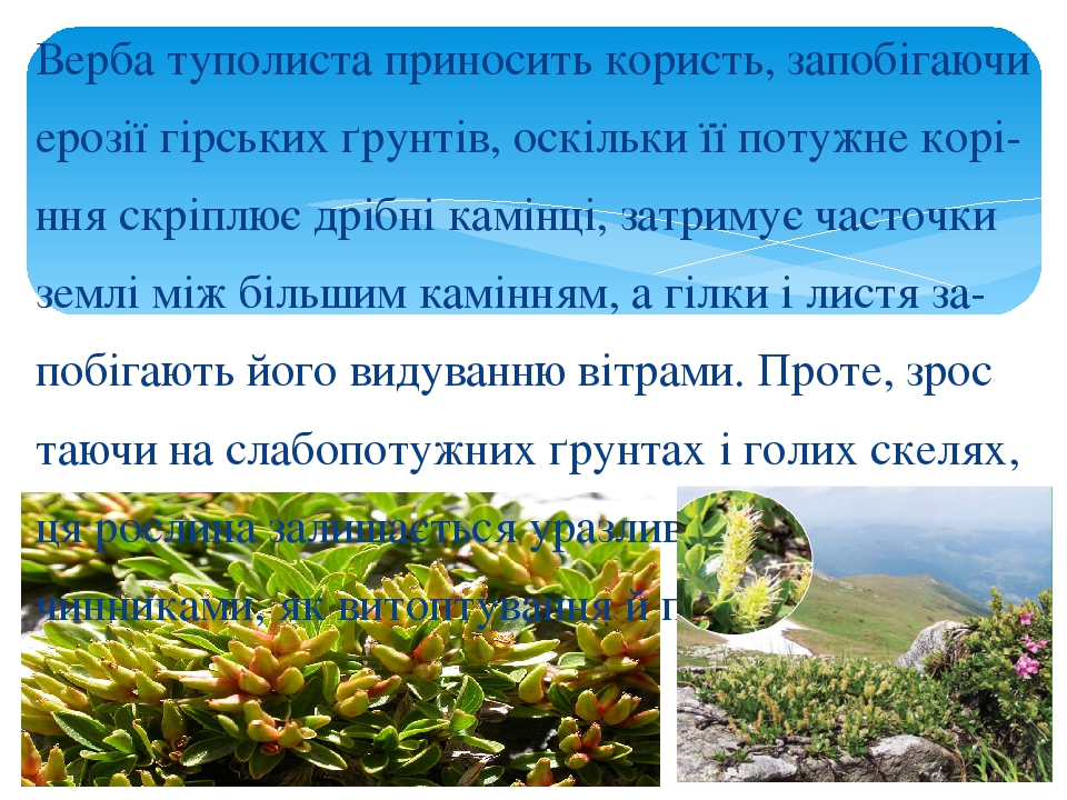 Верба туполиста приносить користь, запобігаючи ерозії гірських ґрунтів, оскільки її потужне корі- ння скріплює дрібні камінці, затримує часточки зе...