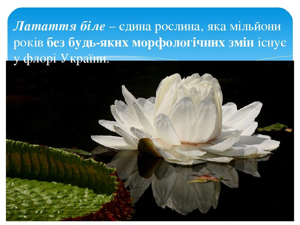 Латаття біле – єдина рослина, яка мільйони років без будь-яких морфологічних змін існує у флорі України.
