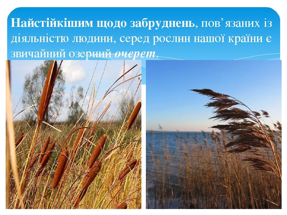 Найстійкішим щодо забруднень, пов'язаних із діяльністю людини, серед рослин нашої країни є звичайний озерний очерет.