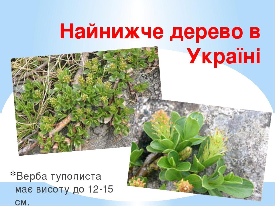 Найнижче дерево в Україні Верба туполиста має висоту до 12-15 см.