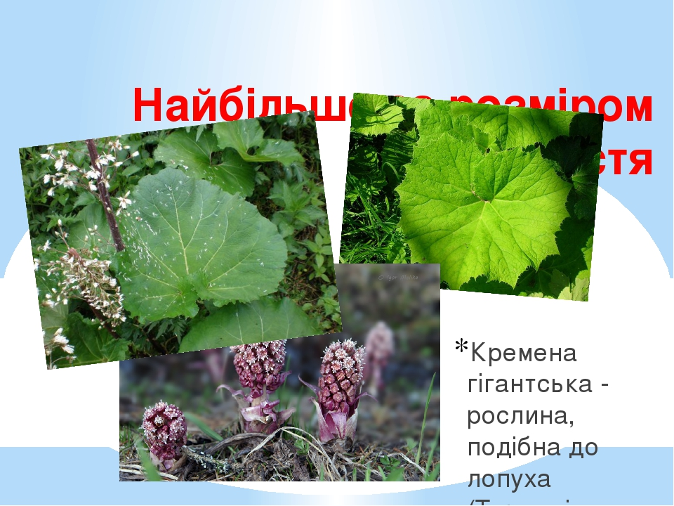 Найбільше за розміром листя Кремена гігантська - рослина, подібна до лопуха (Тернопільщина)