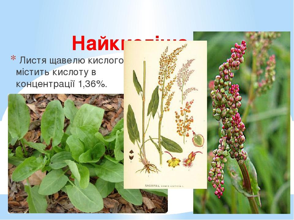 Найкисліша рослина в Україні Листя щавелю кислого містить кислоту в концентрації 1,36%.