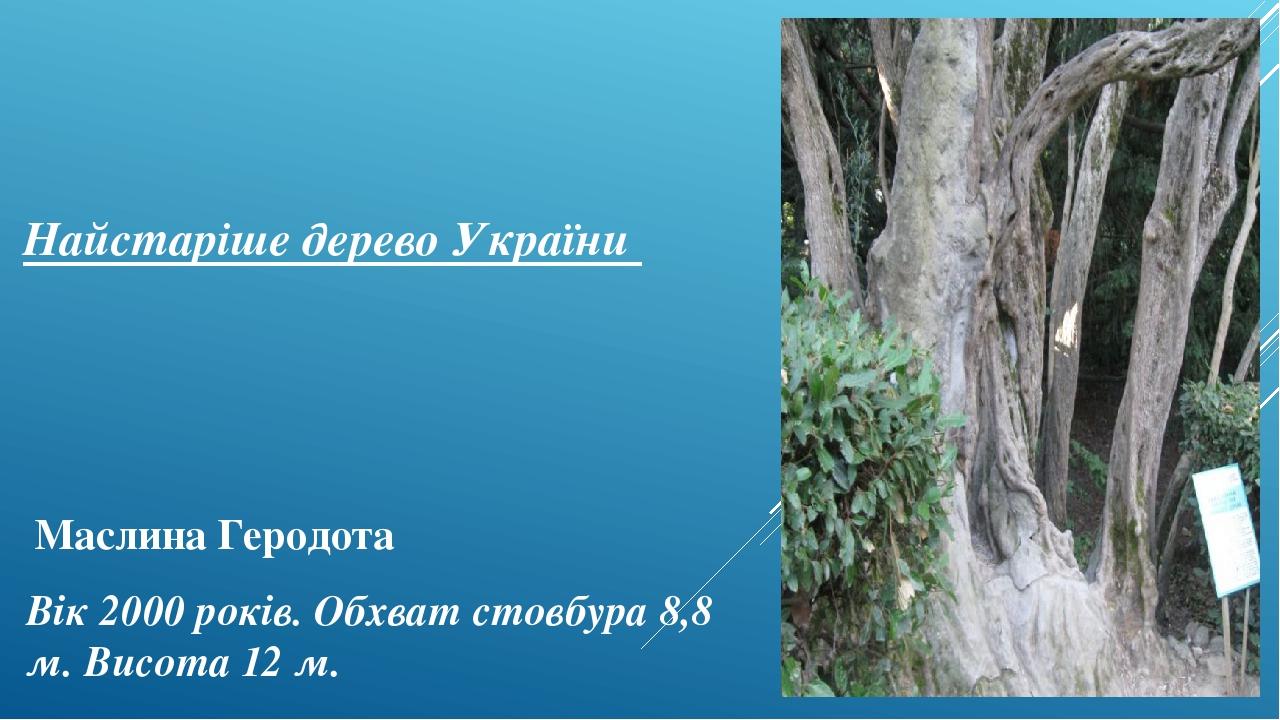 Найстаріше дерево України Вік 2000 років. Обхват стовбура 8,8 м. Висота 12м. Маслина Геродота