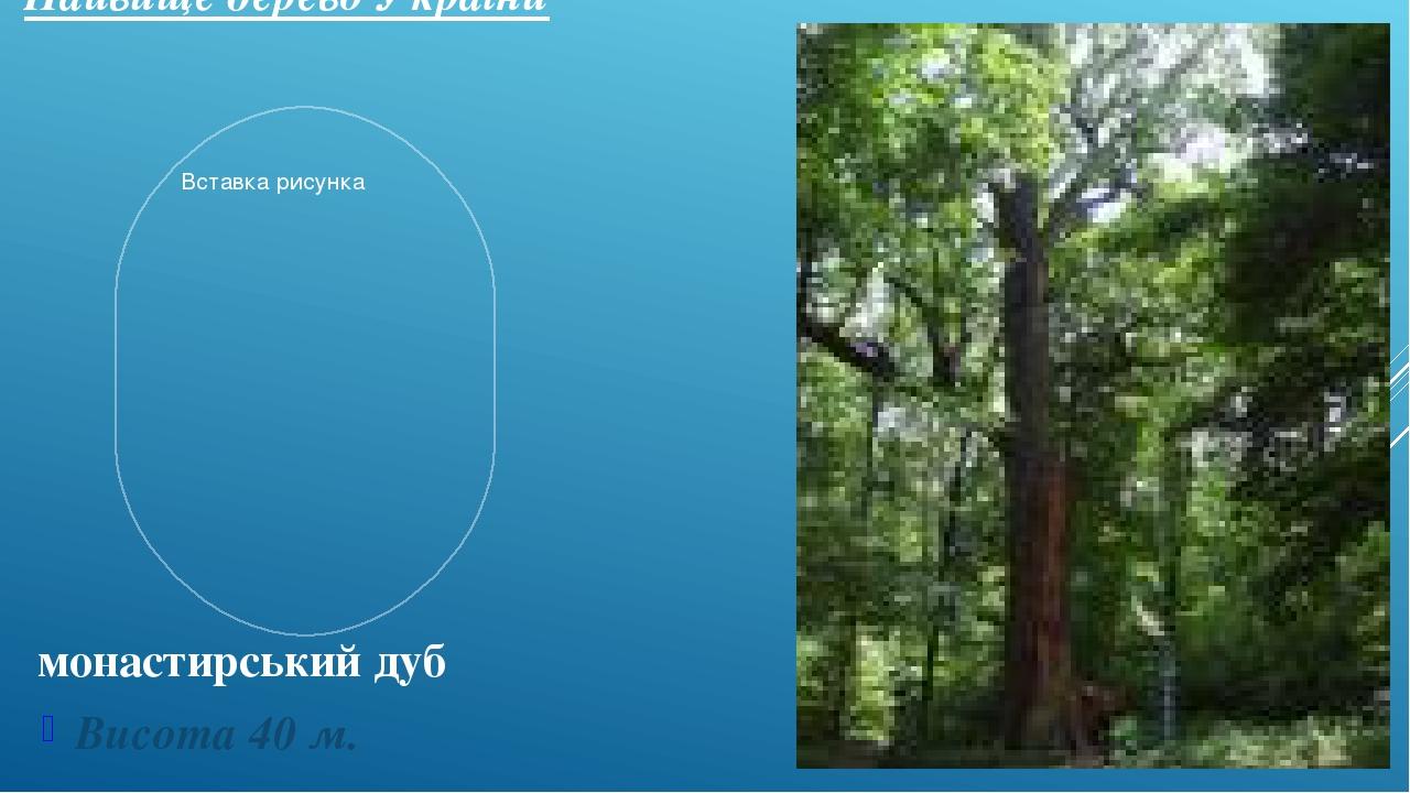 Найвище дерево України Висота 40 м. монастирський дуб