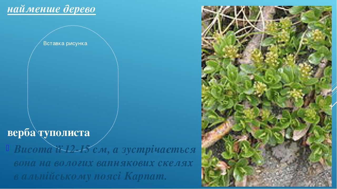 найменше дерево Висота її 12-15 см, а зустрічається вона на вологих вапнякових скелях в альпійському поясі Карпат. верба туполиста