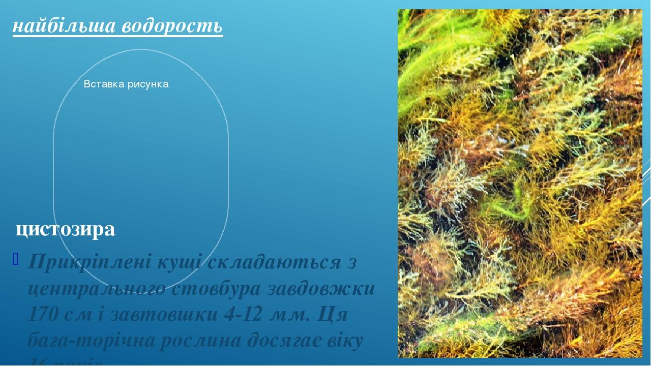 найбільша водорость Прикріплені кущі складаються з центрального стовбура завдовжки 170 см і завтовшки 4-12 мм. Ця бага-торічна рослина досягає віку...