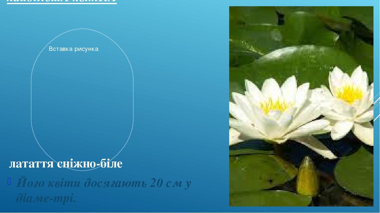 найбільшА квітКА Його квіти досягають 20 см у діаме-трі. латаття сніжно-біле