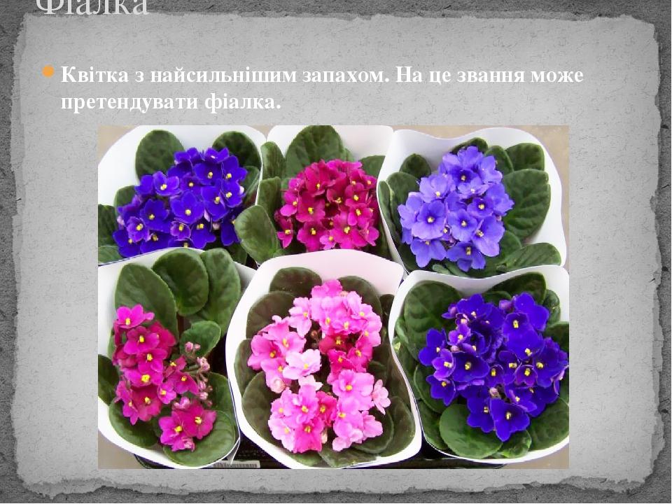 Квітка з найсильнішим запахом. На це звання може претендувати фіалка. Фіалка