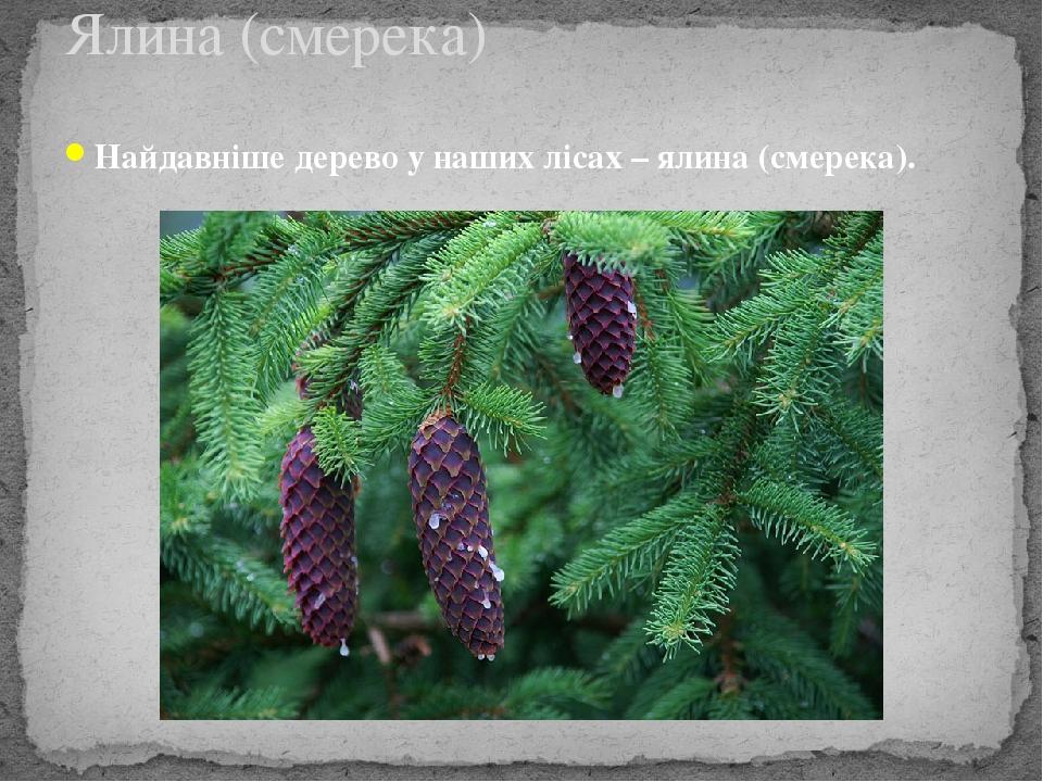 Найдавніше дерево у наших лісах – ялина (смерека). Ялина (смерека)