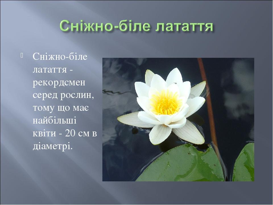 Сніжно-біле латаття - рекордсмен серед рослин, тому що має найбільші квіти - 20 см в діаметрі.