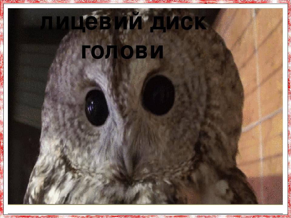 Сови мають плоске «обличчя». лицевий диск голови